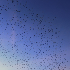 Starlings on the Aberystwyth seafront